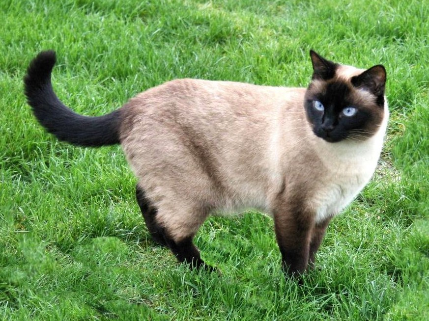 Siamese Cat Wondering What Those Silly Humans Are Doing Probably