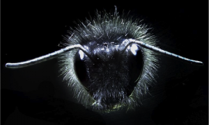 Close-up of a bumblebee head showing antennae and mechanosensory hairs. Photograph: Gregory Sutton/Dom Clarke/Erica Morley/Daniel Robert