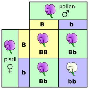 Hidden traits: both the male plant and the female plant have a dominant allele B, which makes their offspring purple, and a recessive allele b which makes their offspring white. You could think of both parents as genetic carriers for white coloration. From Wikimedia Commons (credit: Madeleine Price Ball)