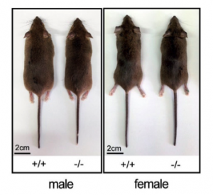 Mice with (+/+) and without (-/-) syncytin. The male mice without sycintin weigh18% less than those with sycytin.