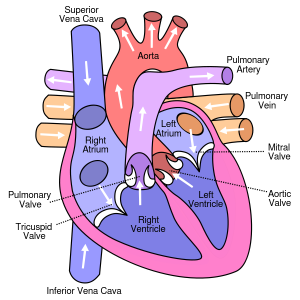 https://commons.wikimedia.org/wiki/File:Diagram_of_the_human_heart_(cropped).svg