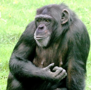 https://upload.wikimedia.org/wikipedia/commons/9/93/Chimpanzee_female_Twycross.jpg