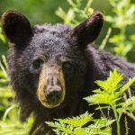 http://www.publicdomainpictures.net/view-image.php?image=187990&picture=black-bear-portrait