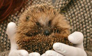 https://pixnio.com/fauna-animals/animal-hedgehog-hibernation