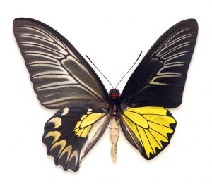 https://commons.wikimedia.org/wiki/File:Ornithoptera_gynandromorphe_GLAM_mus%C3%A9um_Lille_2016.JPG