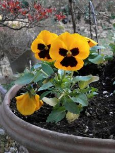 https://pixabay.com/en/pansy-yellow-flowers-winter-flowers-220341/