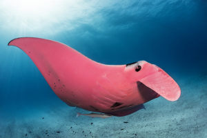 https://mymodernmet.com/pink-manta-ray-kristian-laine/
